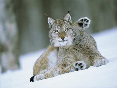 European Lynx Male Grooming in Snow, Norway-Pete Cairns-Photographic Print