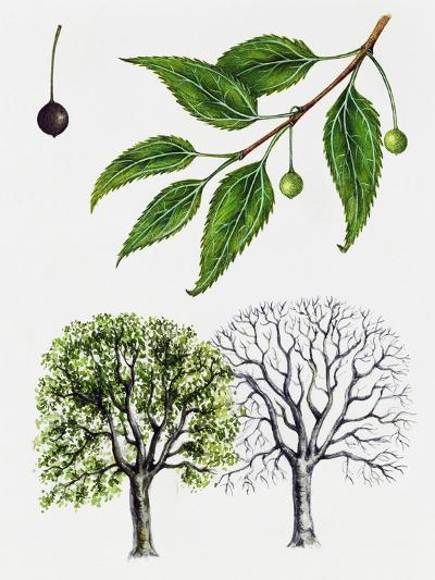 European Nettle Tree or Mediterranean Hackberry (Celtis Australis)--Giclee Print