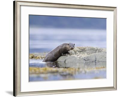 European Otter, Juvenile Climbing out of the Water onto a Rock, Scotland-Elliot Neep-Framed Photographic Print