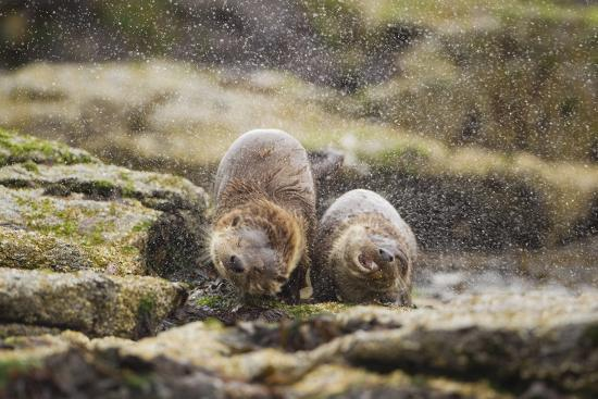 European Otter (Lutra Lutra) Mother and Cub Shaking Water from their Coats-Mark Hamblin-Photographic Print
