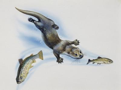 European Otter (Lutra Lutra), Mustelidae, Hunting Fish Drawing--Giclee Print