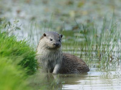 European Otter, Standing in Shallows, Sussex, UK-Elliot Neep-Photographic Print