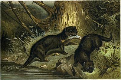 European Otter--Giclee Print