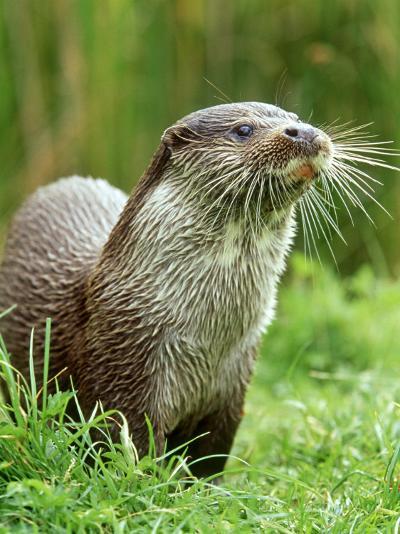 European Otterlutra Lutraclose-Up Portraiton Riverbank-Mark Hamblin-Photographic Print