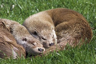 European Otters-Duncan Shaw-Photographic Print