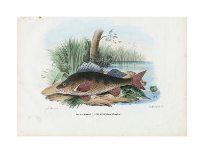 European Perch, 1863-79-Raimundo Petraroja-Giclee Print