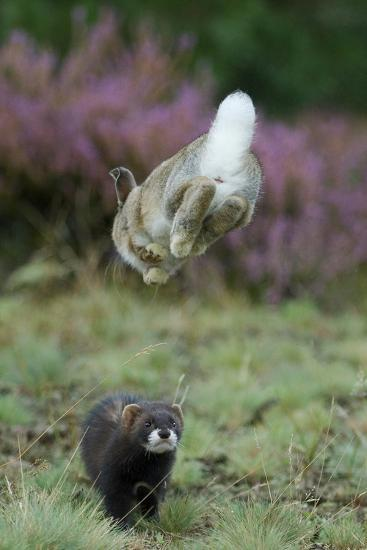 European Polecat (Mustela Putorius) Hunting Rabbit Which Is Jumping to Get Away-Edwin Giesbers-Photographic Print