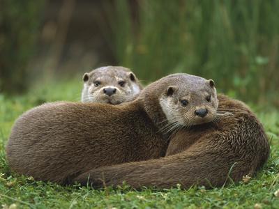 https://imgc.artprintimages.com/img/print/european-river-otter-lutra-lutra-sisters-resting-europe_u-l-peu6fg0.jpg?p=0
