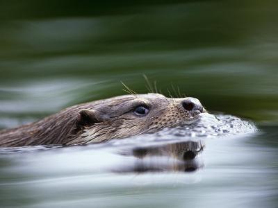 European River Otter Swimming, Otterpark Aqualutra, Leeuwarden, Netherlands-Niall Benvie-Photographic Print