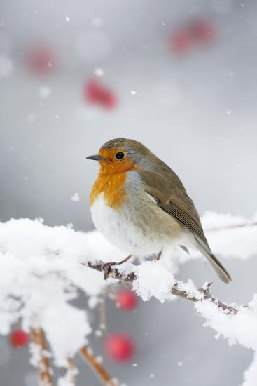 European Robin in Snow, Close-Up Showing Puffed--Photographic Print