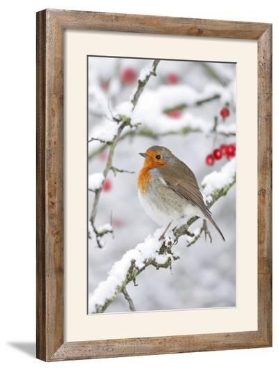 European Robin in Winter on Snowy Branch--Framed Photographic Print