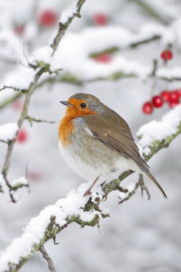 European Robin in Winter on Snowy Branch--Photographic Print