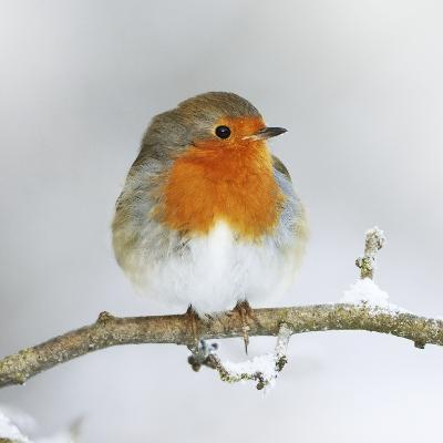European Robin in Winter with Snow--Photographic Print