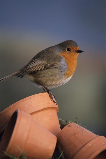 European Robin-David Aubrey-Photographic Print