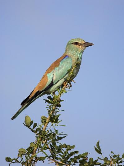 European Roller (Coracias Garrulus), Kruger National Park, South Africa, Africa-Ann & Steve Toon-Photographic Print