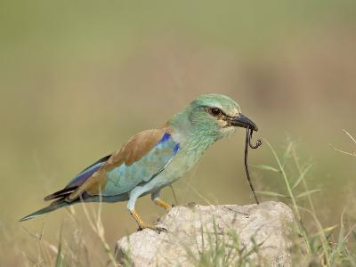 European Roller with a Worm, Serengeti National Park, Tanzania, East Africa-James Hager-Photographic Print