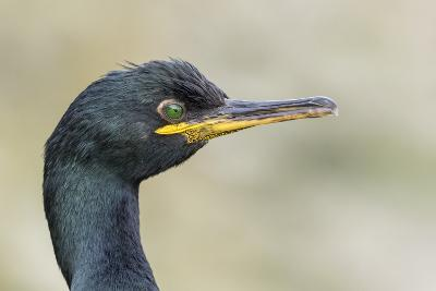 European Shag on the Shetland Islands in Scotland-Martin Zwick-Photographic Print