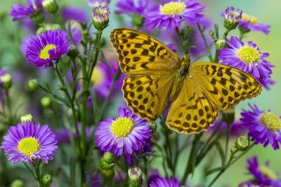 https://imgc.artprintimages.com/img/print/european-silver-washed-fritillary-butterfly-on-daisy-flower_u-l-pyot4h0.jpg?p=0