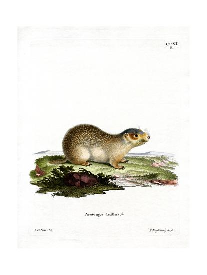 European Souslik--Giclee Print