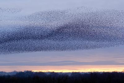 European Starling Flock-Duncan Shaw-Photographic Print