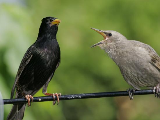 European Starling (Sturnus Vulgaris)-Robert Servrancky-Photographic Print