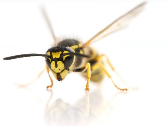 European Wasp Sitting in Studio with Wings Expanded About to Fly-Brooke Whatnall-Photographic Print