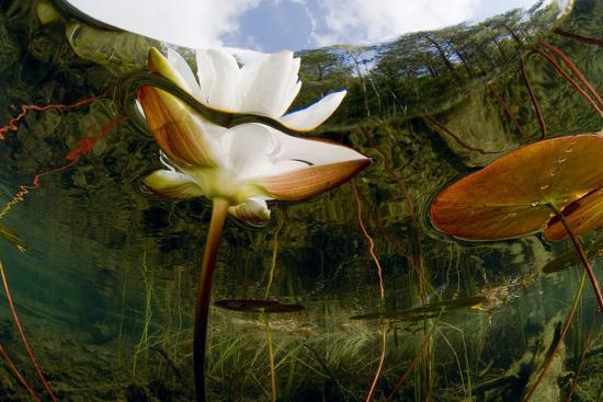 European White Water Lily (Nymphaea Alba) Flower, Bohuslän, Sweden-Lundgren-Photographic Print