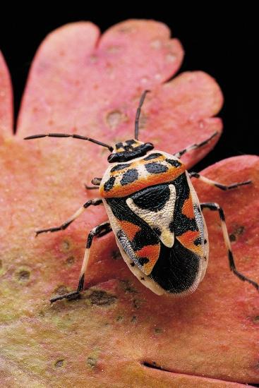 Eurydema Ornata (Shield Bug)-Paul Starosta-Photographic Print