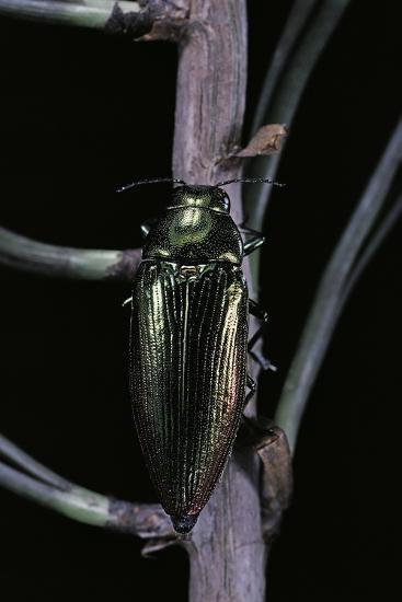 Eurythyrea Micans (Jewel Beetle)-Paul Starosta-Photographic Print