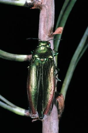 https://imgc.artprintimages.com/img/print/eurythyrea-micans-jewel-beetle_u-l-pzqmgd0.jpg?p=0