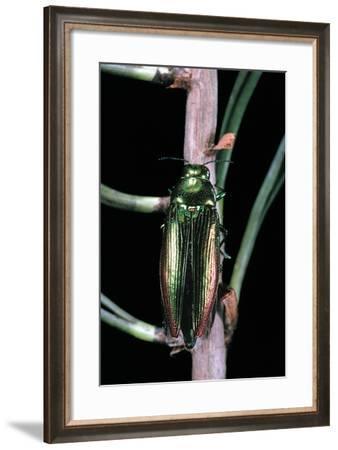 Eurythyrea Micans (Jewel Beetle)-Paul Starosta-Framed Photographic Print