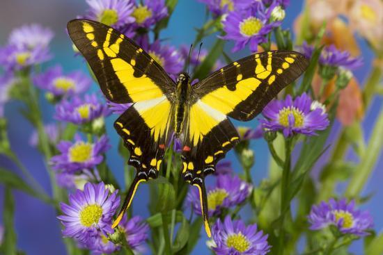 Eurytides thyastes the Orange Kite Swallowtail on Asters-Darrell Gulin-Photographic Print