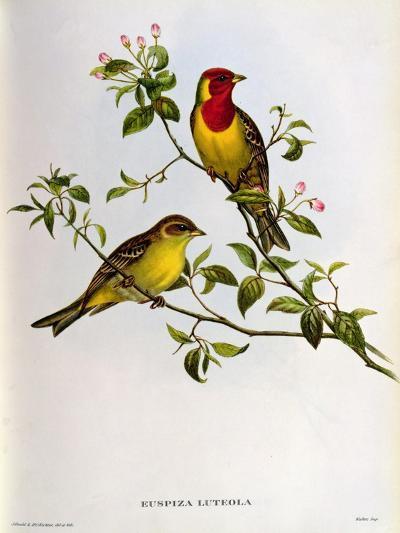 Euspiza Luteola, 19th Century-John Gould-Giclee Print