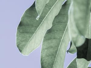 Clear Leaves on Blue II by Eva Bane