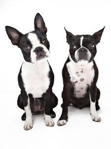 Two Boston Terrier Dogs Sitting next to Each Othe by Evan Kafka