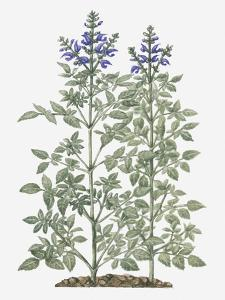 Illustration of Salvia Miltiorrhiza (Red Sage) with Purple Flowers on Tall Stems by Evelyn Binns