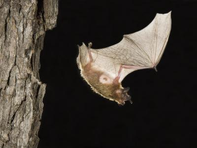 Evening Bat Flying at Night from Nest Hole in Tree, Rio Grande Valley, Texas, USA-Rolf Nussbaumer-Photographic Print
