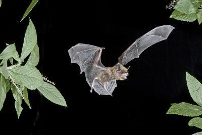 Evening Bat (Nycticeius Humeralis) in Flight with Mouth Open, North Florida, USA-Barry Mansell-Photographic Print