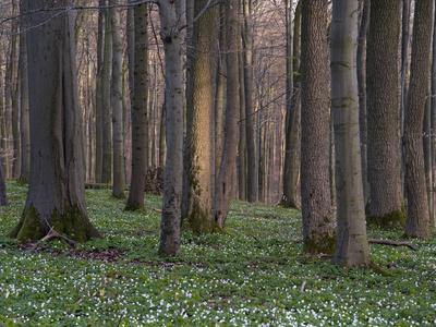 https://imgc.artprintimages.com/img/print/evening-in-the-hainich-national-park-thuringia-germany_u-l-q1f2p3p0.jpg?p=0