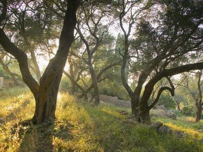 Evening Light Shining Through Olive Trees, Paxos, Ionian Islands, Greek Islands, Greece, Europe-Mark Banks-Photographic Print