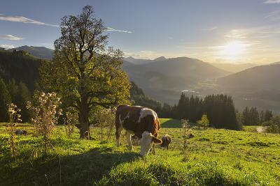 Evening Mood at the Kitzb?heler Horn, Cows, Tyrol, Austria-Rainer Mirau-Photographic Print