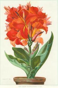 Ever-Blooming Canna Lily