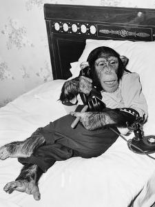 Chimpanzee Sitting in Bed on the Telephone and Smoking a Cigar by Everett Collection