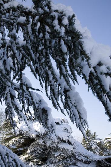 Evergreen Trees Covered in Snow-Benedict Luxmoore-Photographic Print