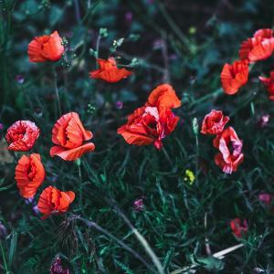 Poppies in the Field. Minimal Style by Evgeniya Porechenskaya