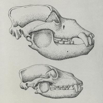 Evolution of Shape of Bear's Skull (Ursus Sp)--Giclee Print