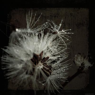 Dandelion in Dew