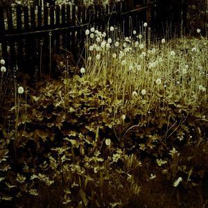 Dandelion Patch along Border by Ewa Zauscinska