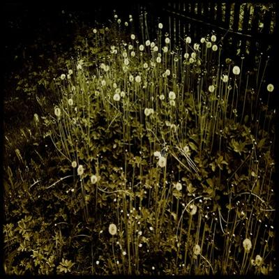 Dandelion Patch by Fence