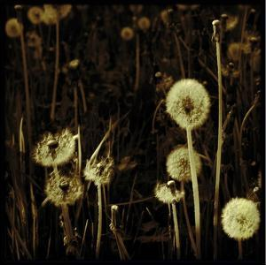 Dandelions in Various Stages by Ewa Zauscinska